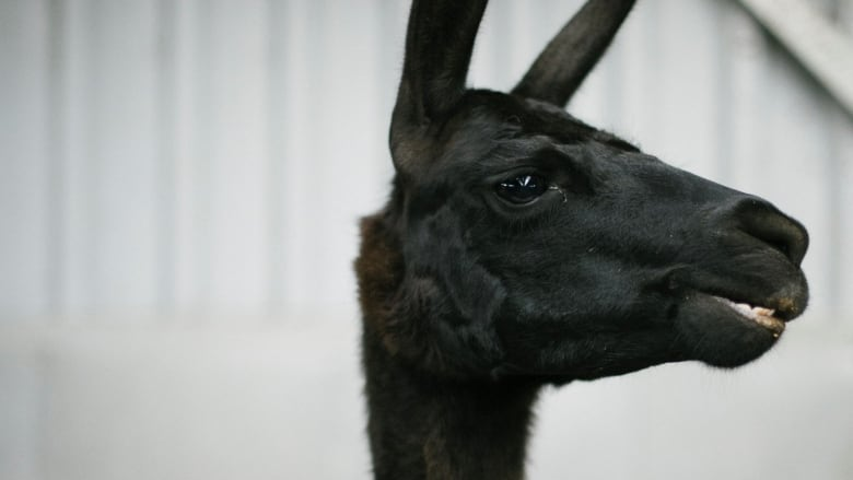 Meet Winter, the 4-year-old llama whose blood might hold a treatment for COVID-19