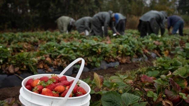B.C. agriculture sector bracing for 8,000 worker shortfall this year