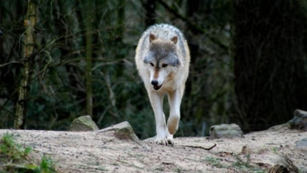 'Significant' increase in wolf sightings in Prince Rupert prompts warning from conservation service | CBC News