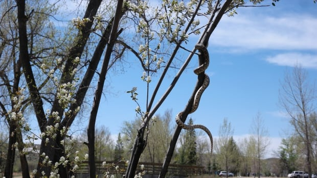 Alberta snake enthusiasts thrilled by encounter with 'extremely docile' bull snake