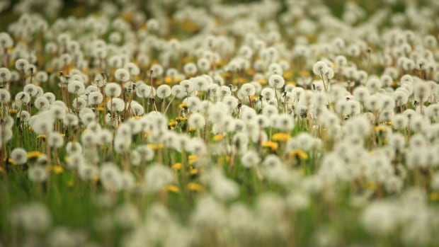 Weeds get a bad rap, but many are crucial to the ecosystem | CBC News