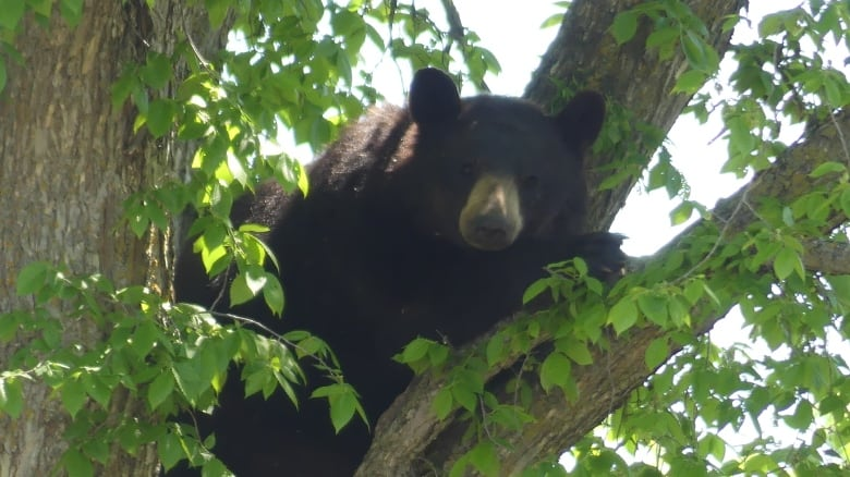 Runner thankful to be alive after being swatted by bear in Riding Mountain National Park