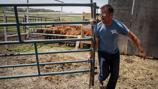 Alberta ranchers and feedlots worried about future impact of COVID-19 | CBC News