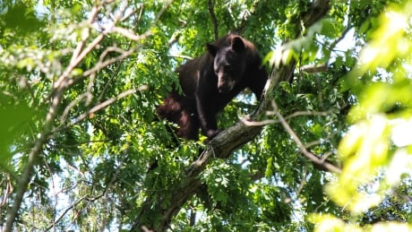 Black bear sighting reported in north London, Ont. Monday
