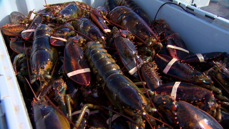 The Trump administration has launched a trade investigation to assess the impact of Canada's worldwide lobster exports on the United States lobster industry. (CBC)