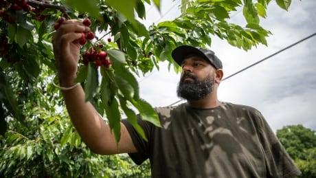 Cherry Picking sukhdeep brar summerland
