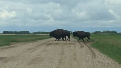 Bison on the loose in Dalmeny