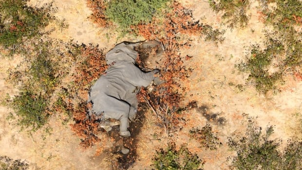 Mystery of hundreds of elephant deaths in Botswana solved