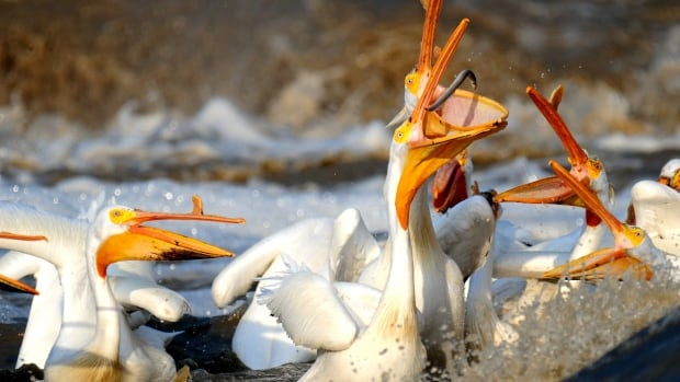 'They get around': Pelicans spotted as far north as Kugluktuk, Nunavut | CBC News