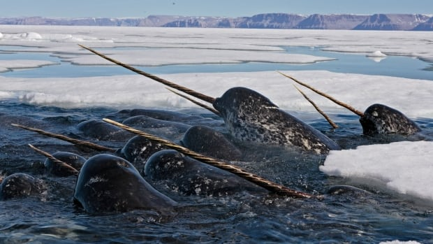 Baffinland to avoid ice breaking in Eclipse Sound this spring due to narwhals