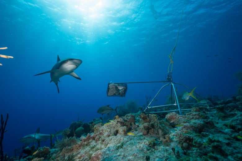 Sharks are 'functionally extinct', says global study