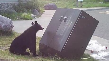 black bear waterton