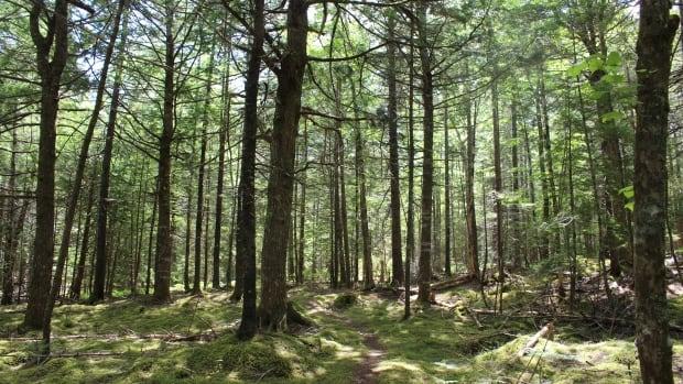 Researchers race to protect Nova Scotia's hemlocks from invasive pest - CBC.ca