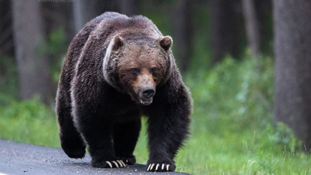 Canmore wildlife photographer captures epic grizzly chase from campground to highway | CBC News