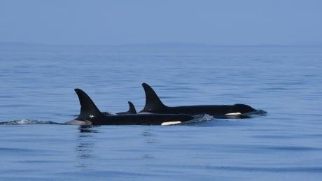 J57 baby orca