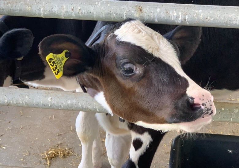 Talk to Wisconsin dairy farmers concerning the ground-shifting occasions in their trade and it is placing how hardly ever the brand new commerce deal with Canada comes up.