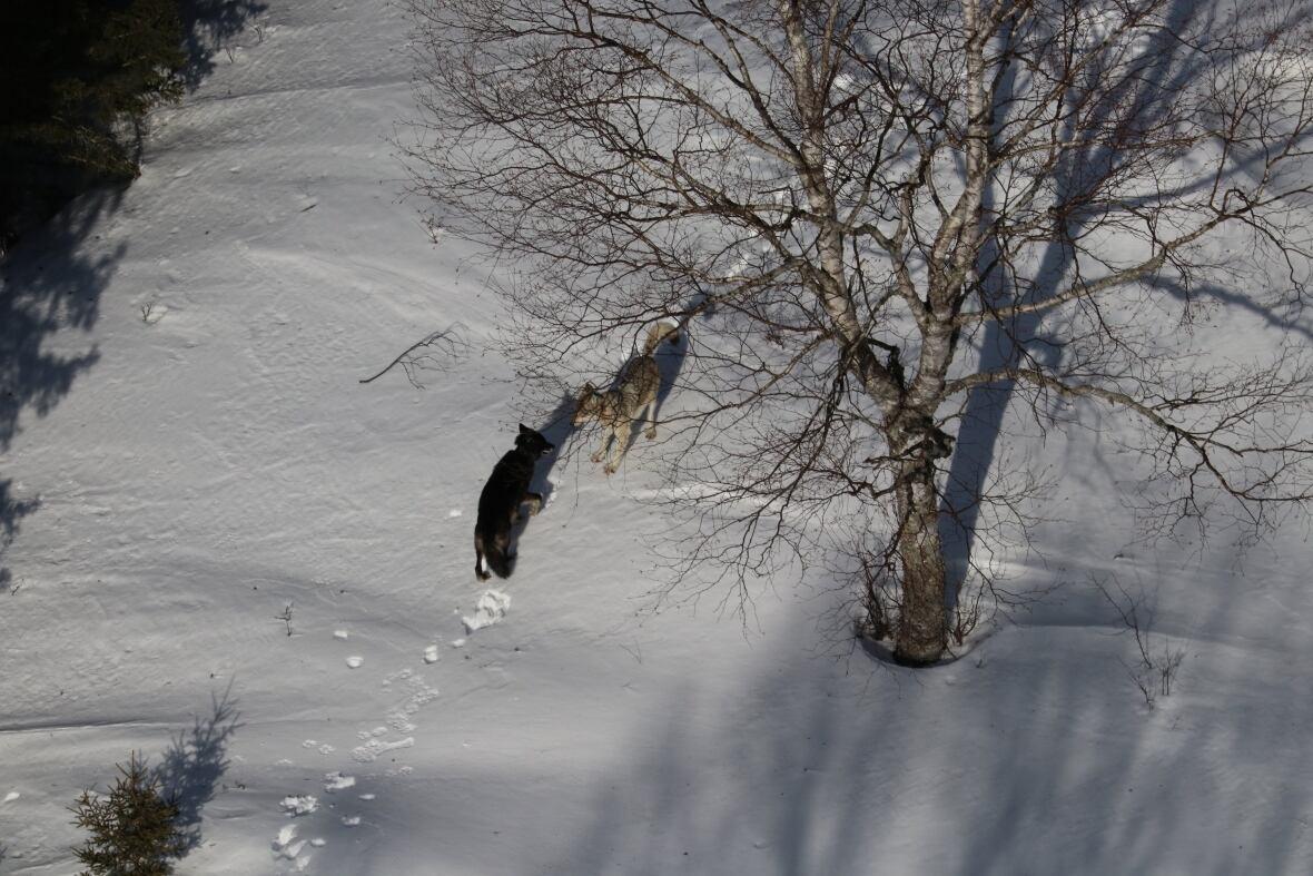 https://i.cbc.ca/1.5723843.1600118725!/fileImage/httpImage/image.JPG_gen/derivatives/original_1180/isle-royale-wolves.JPG
