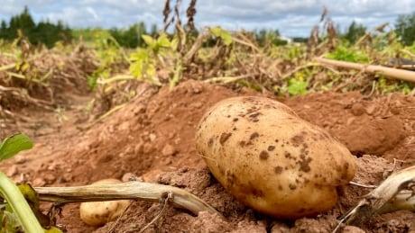 Potato Field pictures
