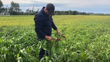 Cover crops tillage radishes