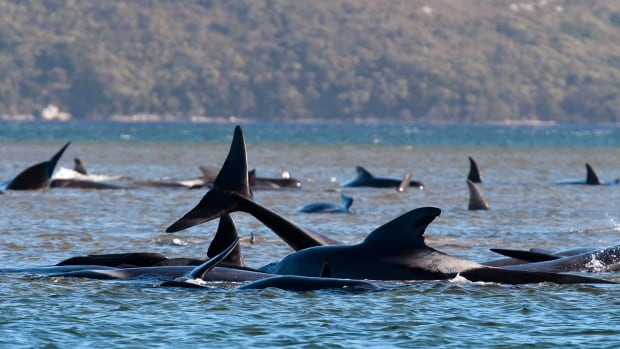 Hundreds of pilot whales die in record mass stranding in Australia