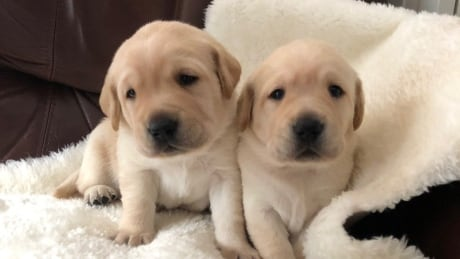 Bonnie Henry Puppies