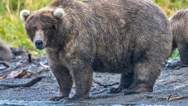 Who's the fattest salmon-feaster? Fat Bear Week in Alaska a 'really close call'