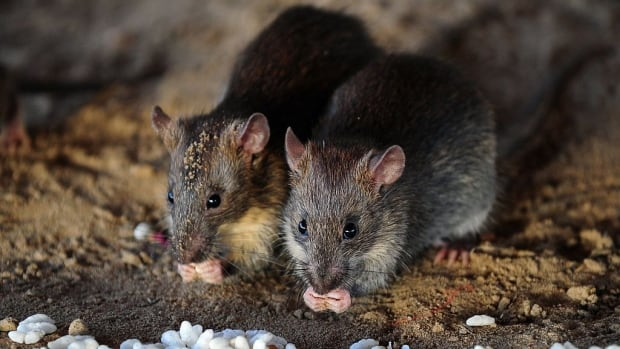 Alberta's rat sightings doubled in 2020, but there's nothing to worry about | CBC News