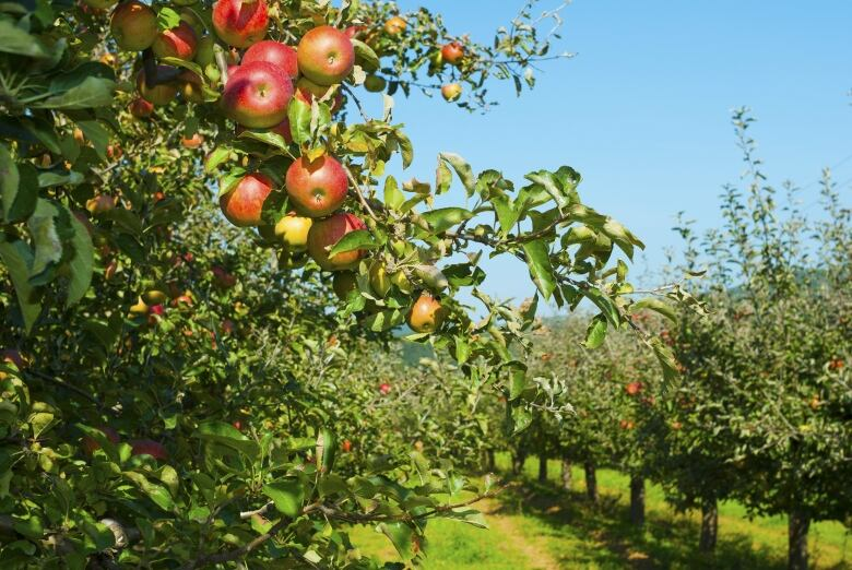 40 workers at Elgin County orchard test positive for COVID-19 thumbnail