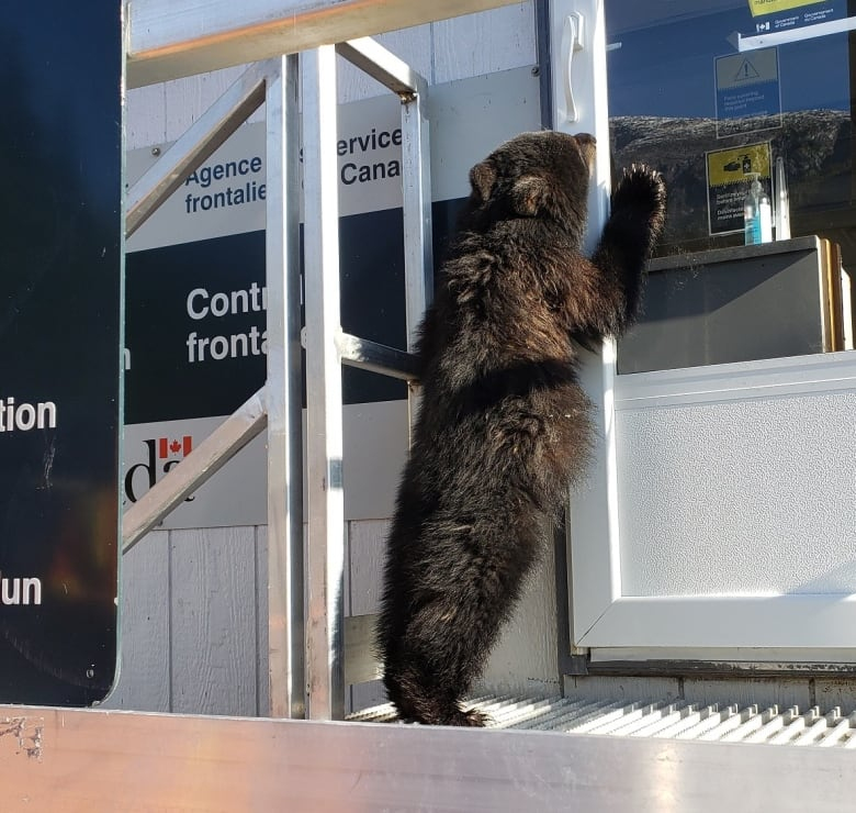 A young black bear approaches the Hyder-Stewart border crossing between northern B.C. and Alaska. (CBSA)