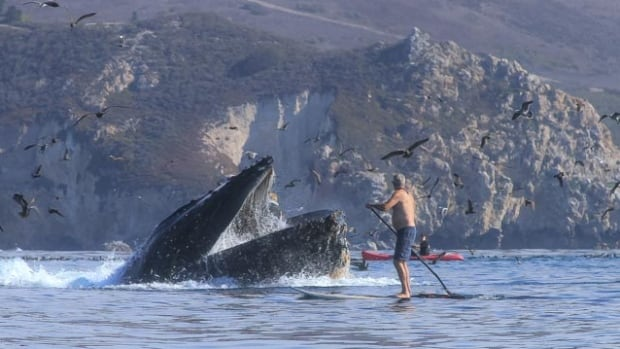 'It was crazy,' says California kayaker who was engulfed in a whale's mouth | CBC Radio