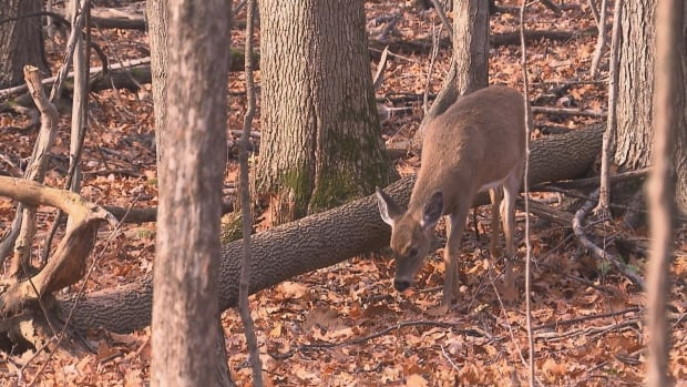 City of Longueuil to put down 15 deer to deal with overpopulation | CBC News