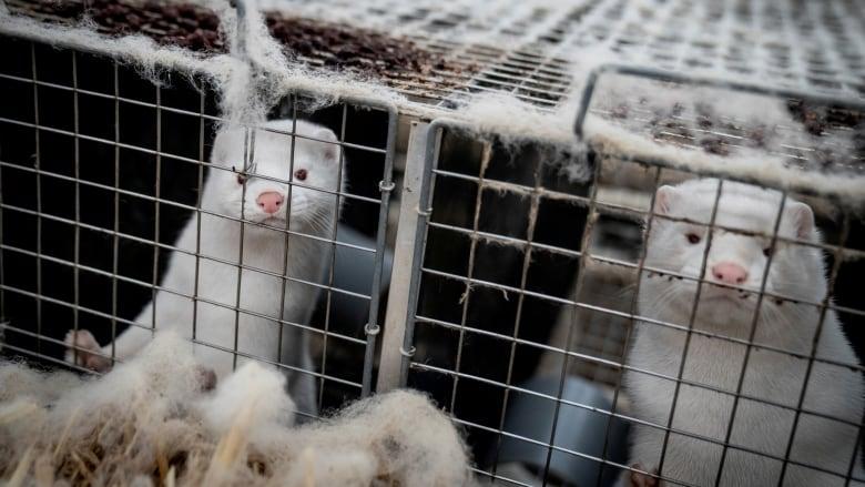 Danish Farm Minister quits over mink scandal