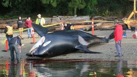 J34 KILLER WHALE ORCA CORPSE