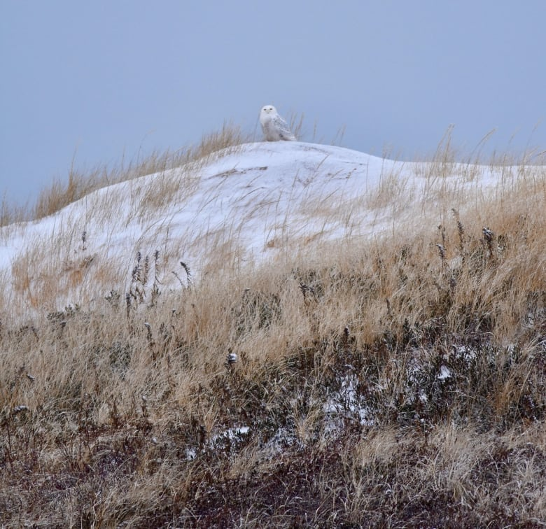P.E.I. birders enthusiastic by substantial quantities of unusual visitors this fall thumbnail
