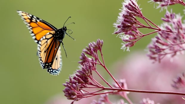 Earth's declining insect numbers suggest a problem bigger than many realize, top bug experts say   CBC News