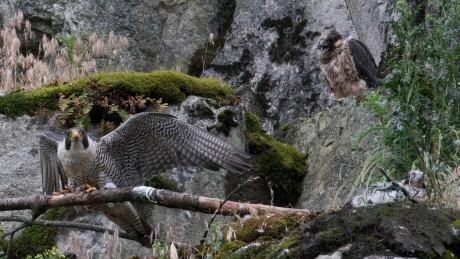 Peregrine falcons Quadling Road quarry abbotstford