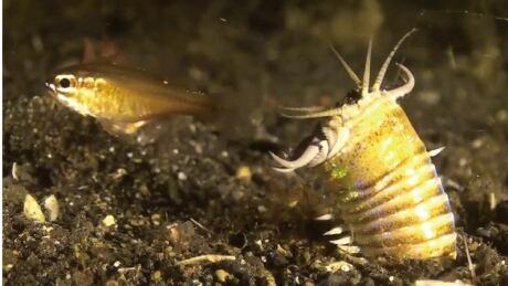 Modern bobbit worm