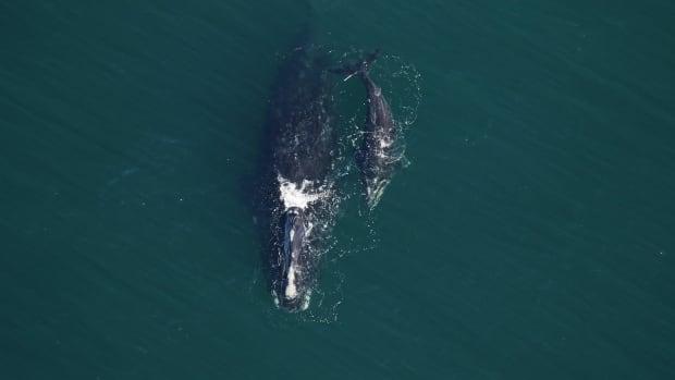 13 North Atlantic right whale calves recorded so far this season