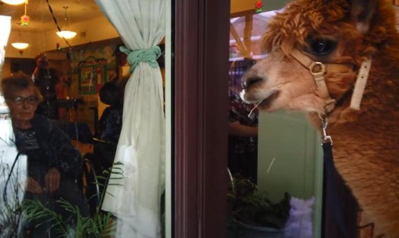 Alpaca visitors delight seniors in Ontario long-term care home thumbnail