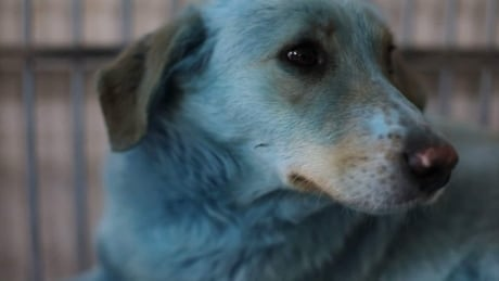 Blue-coloured stray dogs found near derelict Russian chemical plant