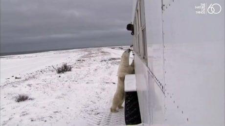 Dancer, a wild polar bear, visits tracker Dennis Compayre
