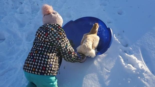 Sask. sledding chicken meets tragic end at hands of farmyard predator