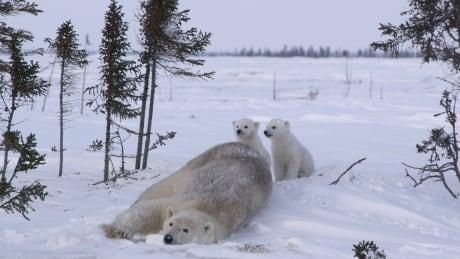 Kingdom of the Polar Bears - Family Den
