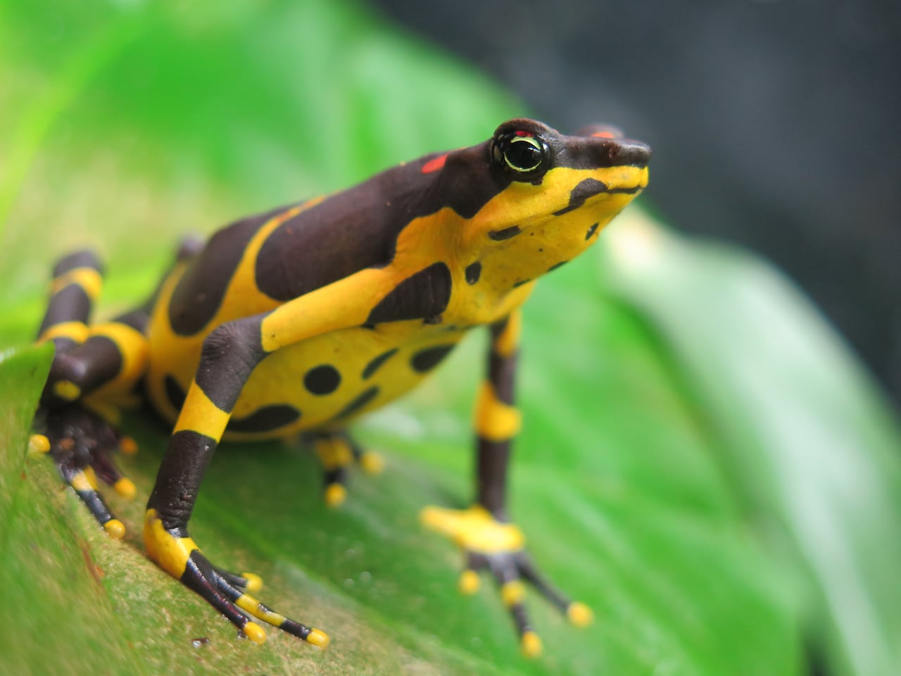 variable-harlequin-toads.jpg