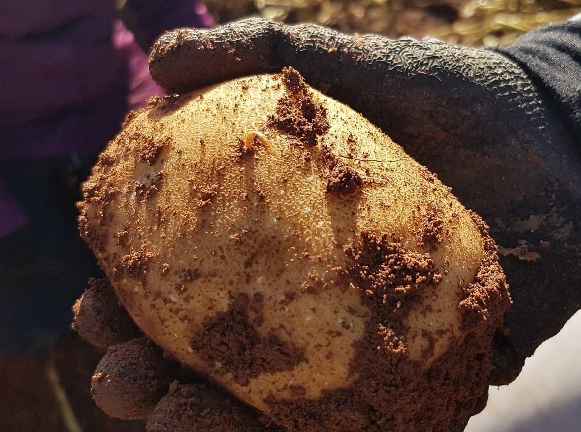 wireworm sticking out of potato