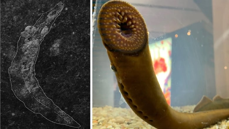 Blooding Fish Fossils Overturn Once, What Is A Lamprey Fish