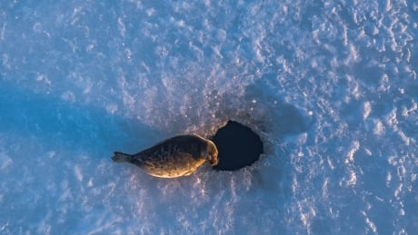 Labrador seal hunt largely sidelined as sea ice hits 50-year low