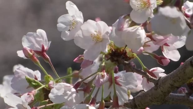 Kyoto's earliest cherry blooms in 1,200 years point to climate change, says scientist | CBC News