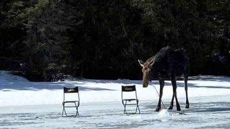 moose sniffing