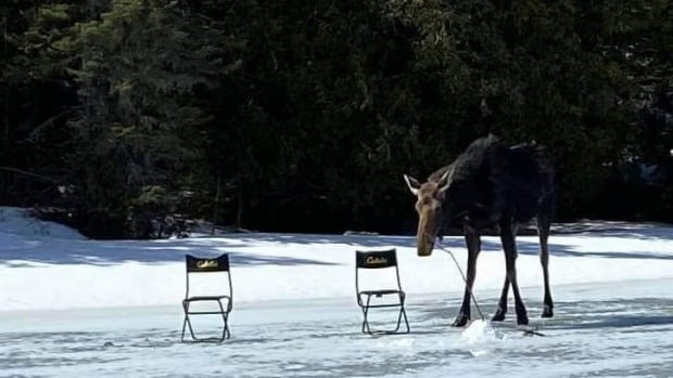 Curious moose crashes 2 men's ice-fishing outing on Thunder Bay-area lake